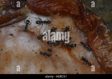 ANTS ON A PIECE OF FRUIT FRANCE - Stock Photo