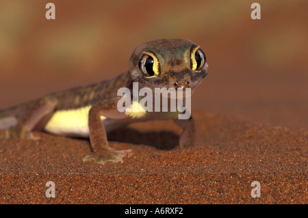 Africa, Namibia, Namib National Park. Web-footed Gecko (Palmatogecko rangei) - Stock Photo