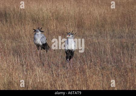 Secretary Birds in Kenya, East Africa - Stock Photo