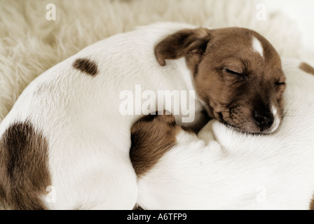 Jack Russell puppy sleeping with litter puppy - Stock Photo