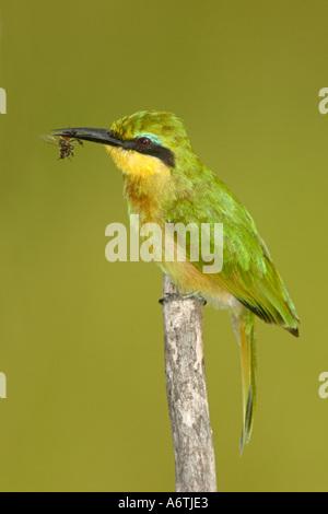 Little Bee-eater,  East Africa, Tanzania, Lake Manyara National Park - Stock Photo