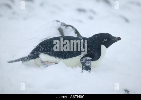 Arctowski Station and spring snow storm, next to a colony of Adelie Penguins sledding on the snow with its wings - Stock Photo