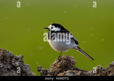 Pied Wagtail Motacilla-Alba perched on muck heap back lit with flies flying  around and nice blurred background - Stock Photo