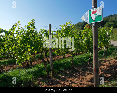 vineyards along the hiking trail the Frankish wine route at the river Main - Stock Photo