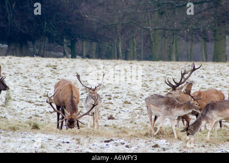 Deer in the snow at Rudding Park, Fountains Abbey, Dec 2006 - Stock Photo