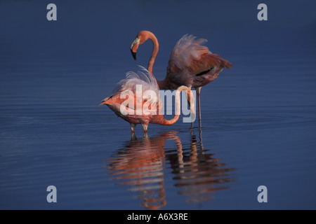 Flamingoes Feeding in the Galapagos. - Stock Photo