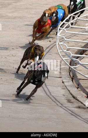 Greyhound dog racing at the Sarasota Kennel Club dog track ...