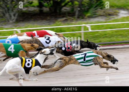 Greyhound dog racing at the Sarasota Kennel Club dog track in Sarasota Florida FL Fla - Stock Photo