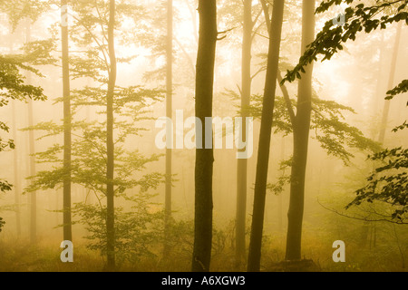 UK Hampshire New Forest pine trees in mist - Stock Photo