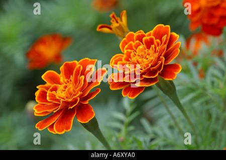 Marigold close-up Tagetes patula - Stock Photo