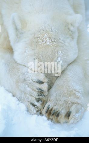 Polar Bear paws cover face Cape Churchill Manitoba Canada winter portrait - Stock Photo
