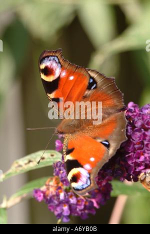 Peacock Butterfly on Purple Flowering Buddleja in a Cheshire Garden England United Kingdom UK - Stock Photo