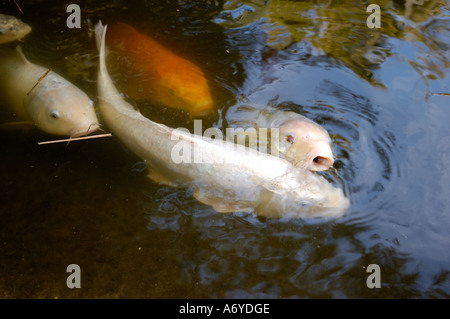 Group of colorful koi fish swimming around in a Japanese garden pond at The Huntington Library, San Marino, CALIFORNIA. - Stock Photo