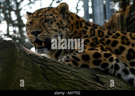 Jaguar at Marwell Zoo UK - Stock Photo
