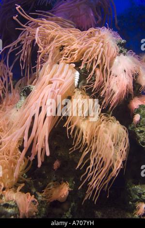 Reef anemones in Artis Zoo Aquarium, Amsterdam, Holland - Stock Photo