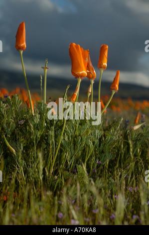 California Poppy Eschscholzia californica Antelope Valley California Poppy Reserve Lancaster California - Stock Photo