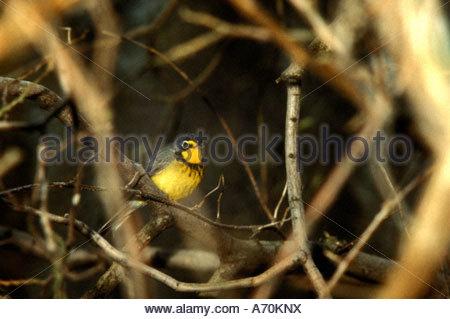 Canada warbler Wilsonia canadensis - Stock Photo