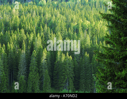 Deciduous and evergreen forest in Sweden - Stock Photo