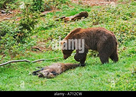 European Brown bear (Ursus arctos) with dead wild boar - Stock Photo