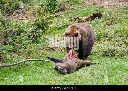 brown bear with dead wild boar / Ursus arctos - Stock Photo