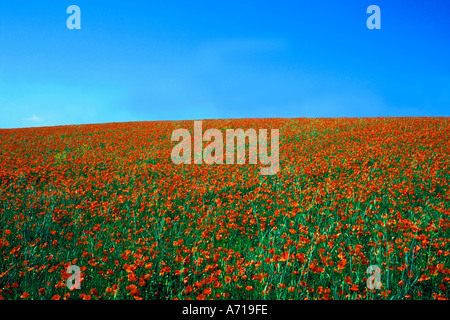 Large red poppies field - Stock Photo