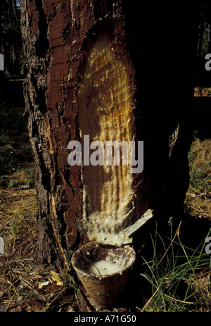 Europe, France, Aquitania, Landes. Dripping resin collection from pine trees - Stock Photo
