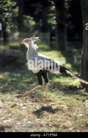 zoology / animals, avian / birds, Secretary Bird, (Sagittarius serpentarius), walking, distribution: Africa, animal, - Stock Photo