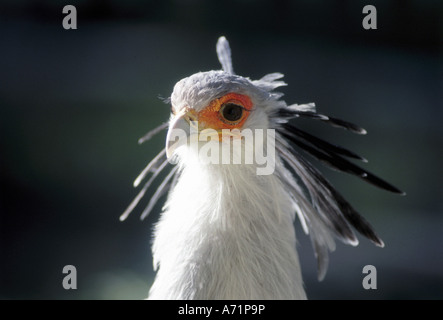 zoology / animals, avian / birds, Secretary Bird, (Sagittarius serpentarius), detail: head, distribution: Africa, - Stock Photo
