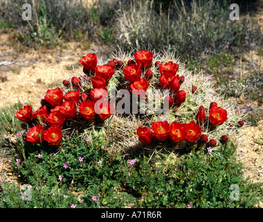 botany, cacti, (Cacataceae), Golden Barrel Cactus, (Echinocactus), with many red blossoms on meadow, USA, America, - Stock Photo