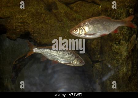 Rudd fish swimming in London Aquarium London SE1 - Stock Photo