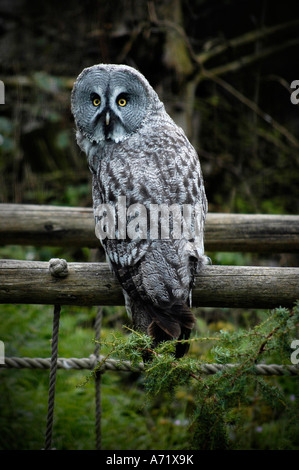 A Great Gray Owl, STRIX NEBULOSA, at the Skansen open air museum and zoo in Stockholm, Sweden - Stock Photo