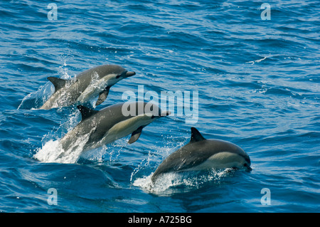 Long-beaked Common Dolphins (Delphinus capensis) Sea of Cortes, Baja California, MEXICO - Stock Photo