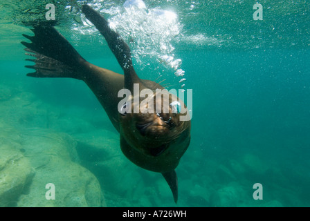 California Sea Lion (Zalophus californianus) underwater SEA OF CORTEZ, Los Islotes, Baja California, Mexico - Stock Photo
