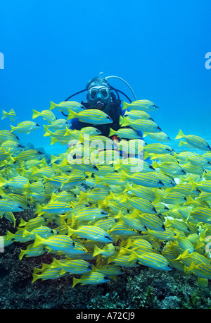 scubadiver looking a shoal of bluelined snappers