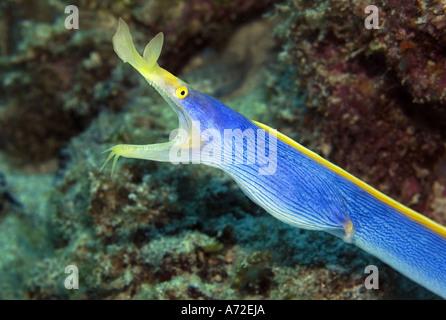 close-up of blue ribbon eel - Stock Photo
