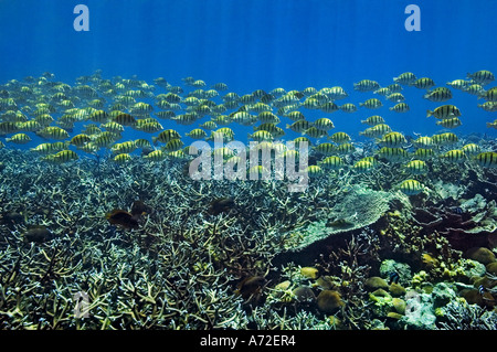 shoal of surgeonfishes swimming on coral field - Stock Photo