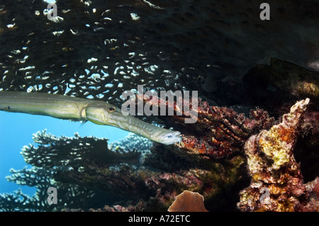 close-up of trumpetfish swimming under table coral - Stock Photo