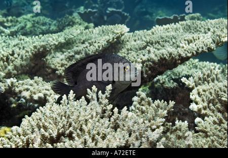 close-up of damselfish hidden among plate coral - Stock Photo