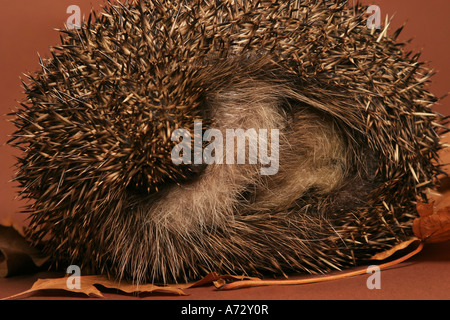 A Hedgehog curled up into a ball - Stock Photo
