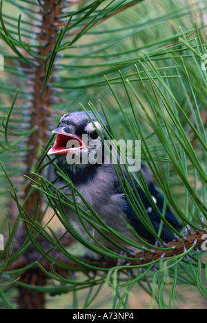 Fledgling blue jay in branch - Stock Photo