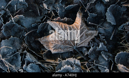 A touch of winters first frost on fallen leaves - Stock Photo