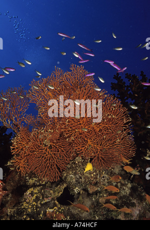 Oceania, Fiji. Colorful Sea Fans, other corals and Anthias - Stock Photo