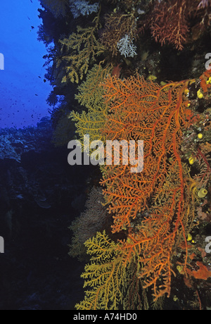 Oceania, Fiji. Colorful Sea Fans and other Corals - Stock Photo