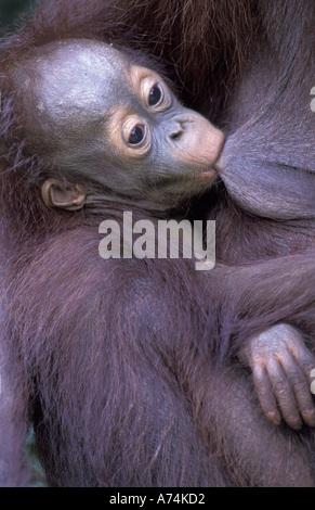 Borneo, Tanjung National Park Orangutan (Pongo Pygmaeus) mother nursing baby (closeup) - Stock Photo
