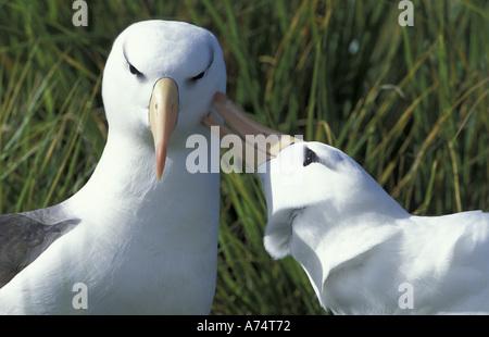 South America, Falkland Islands Two black-browed albatross (Diomedea melanophris) courting - Stock Photo