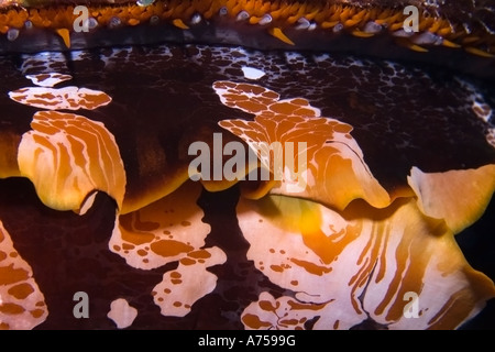 Thorny oyster Spondylus varius Rongelap Marshall Islands Micronesia - Stock Photo