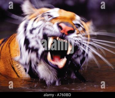Siberian tiger swimming in river - Stock Photo