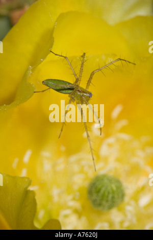 Green Lynx Spider Puecetia viridans Arizona On prickly pear blossom Awaiting prey attracted to blossom Ambush predator - Stock Photo