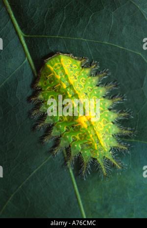 Slug caterpillar, Limacodidae, with stinging hairs and bright warning coloration colouration, Amazon rainforest - Stock Photo