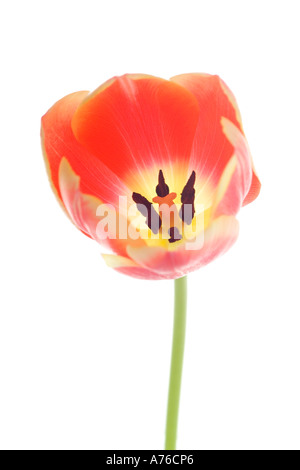Close up of a single pink peach coloured tulip (tulipa) on a pure white background. - Stock Photo